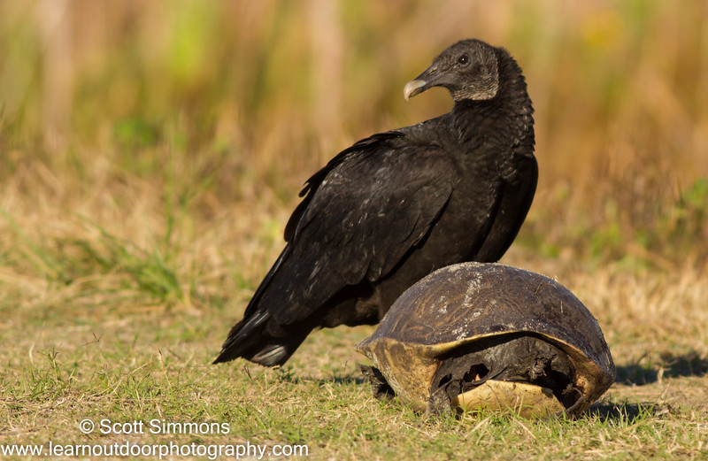 Black Vultures with Turtle Shell