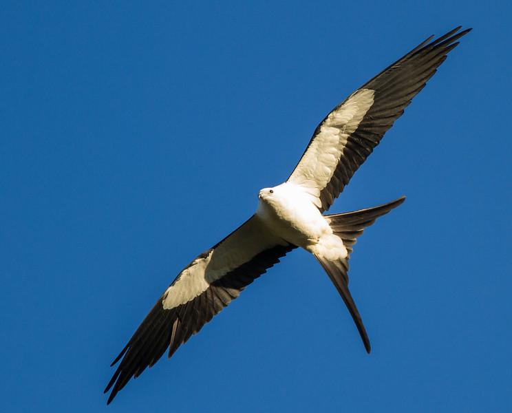 Swallow-tailed Kites Return