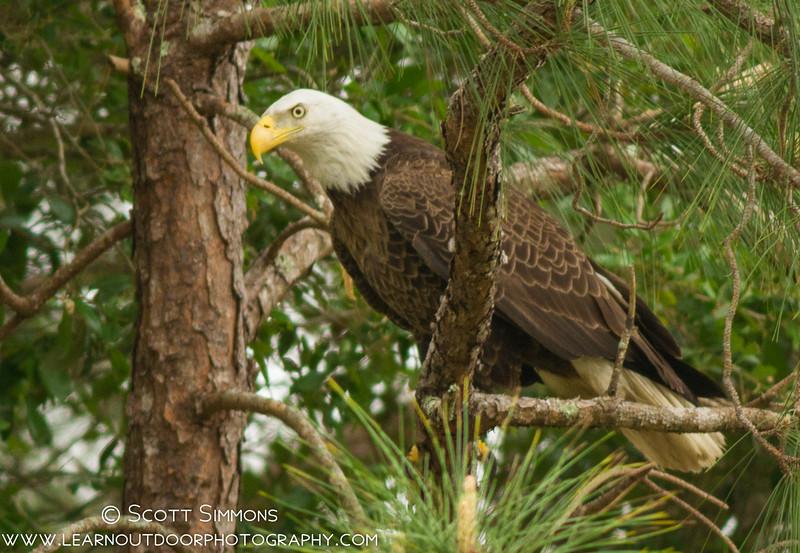 Bald Eagles Conspiracy