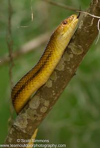 Rat Snake
