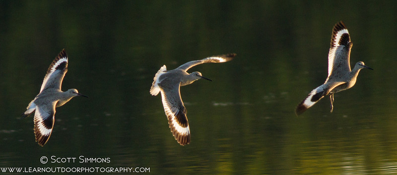 Willets in Flight