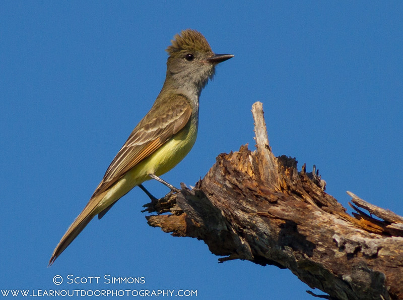 Great Crested Flycatcher at Lower Wekiwa River Preserve
