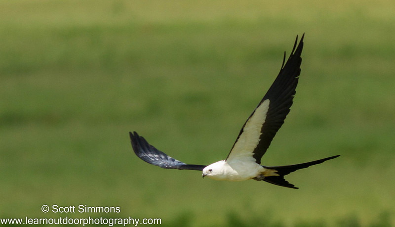 Swallow-tailed Kites in Dade City, FL