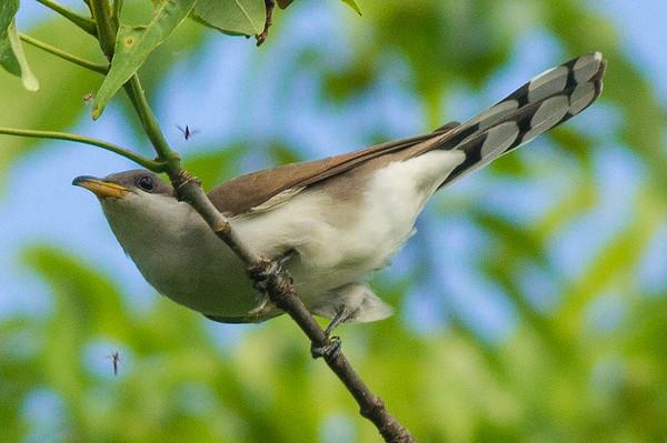 Cuckoos & Anis