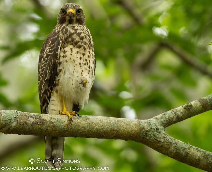 Juvenile Red-shouldered Hawks