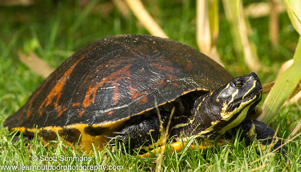 Florida Red-belly Turtle