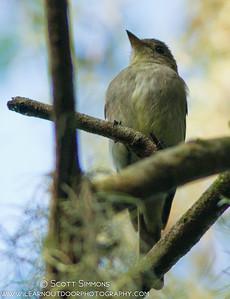 Eastern Wood-Pewee