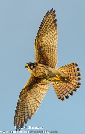 Falcons & Caracara