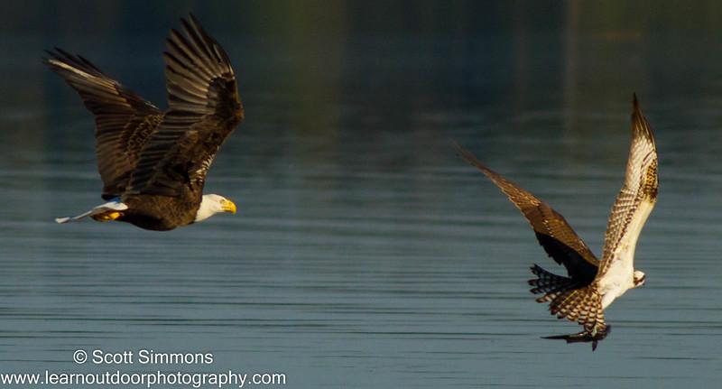 Bald Eagle Attacking an Osprey