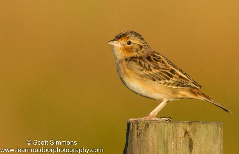 Grasshopper Sparrows Have Returned