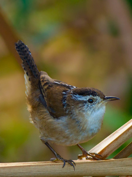 Marsh Wren at the North Tract of Lake Jesup CA