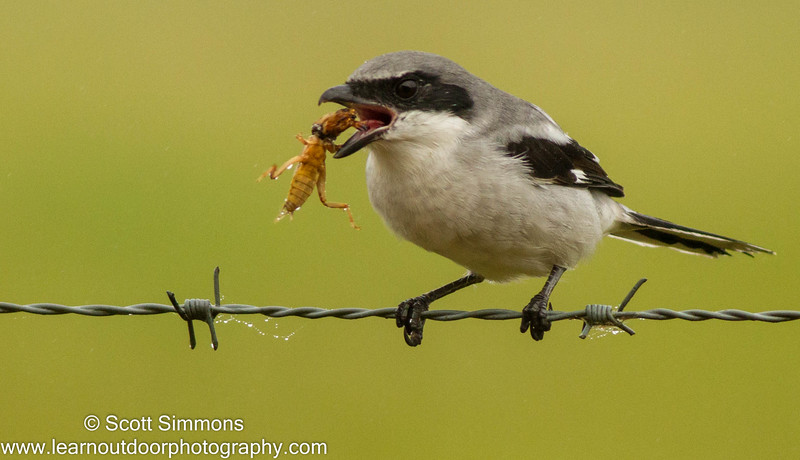 Brumley Rd.  This shrike has captured a Mole Cricket.