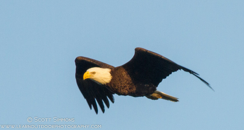 Bald Eagle in Flight (and Changing Focusing Modes)