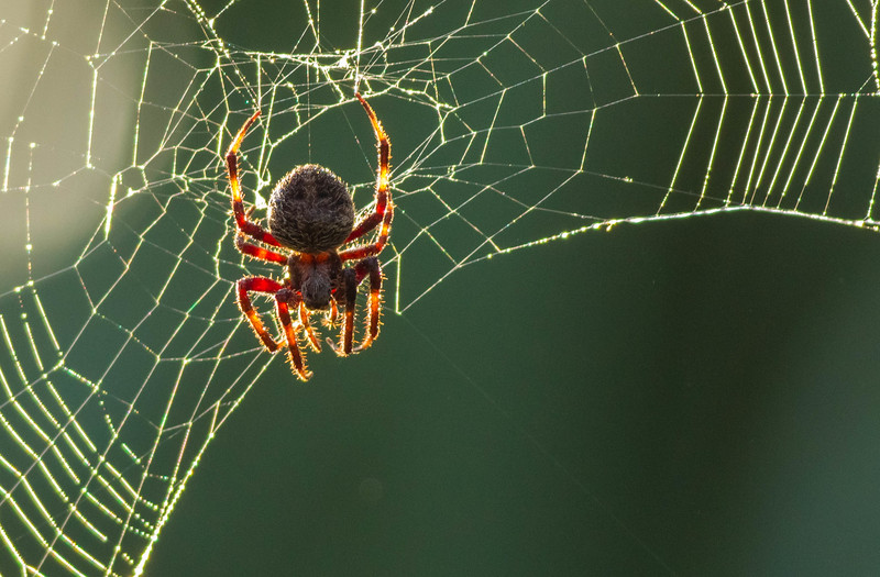 Red-femured Spotted Orbweaver