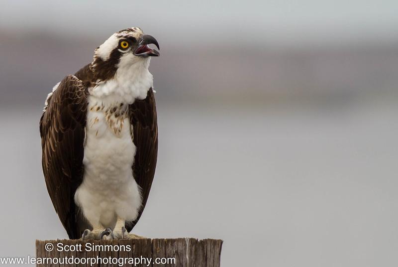 Osprey on Lake Monroe