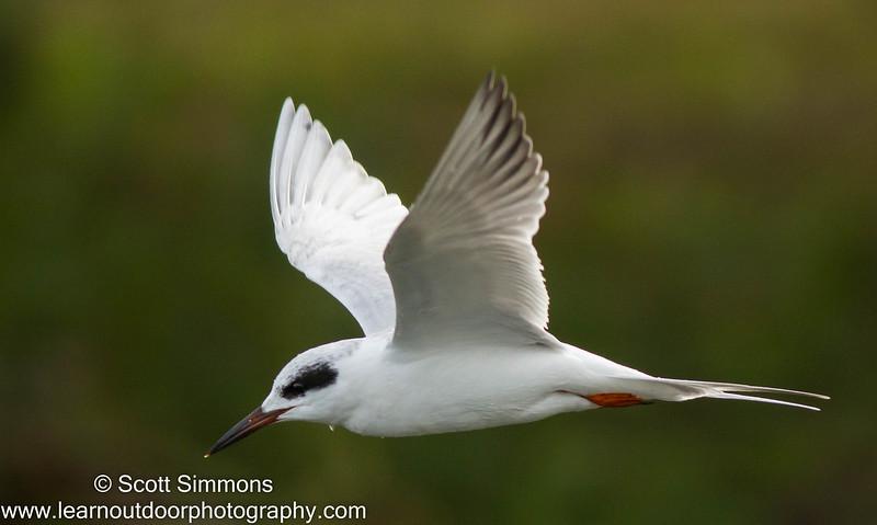Forster's Tern on Lake Monroe
