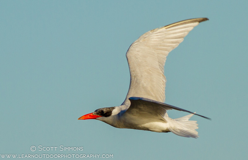Caspian Terns on Lake Monroe