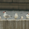 Caspian, Royal, Forster's Terns; Herring, Ring-billed Gull; Double-crested Cormorant