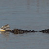 Alligator with White Pelican