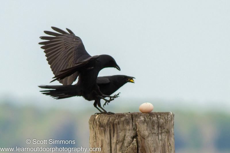 Fish Crows: Egg Thieves