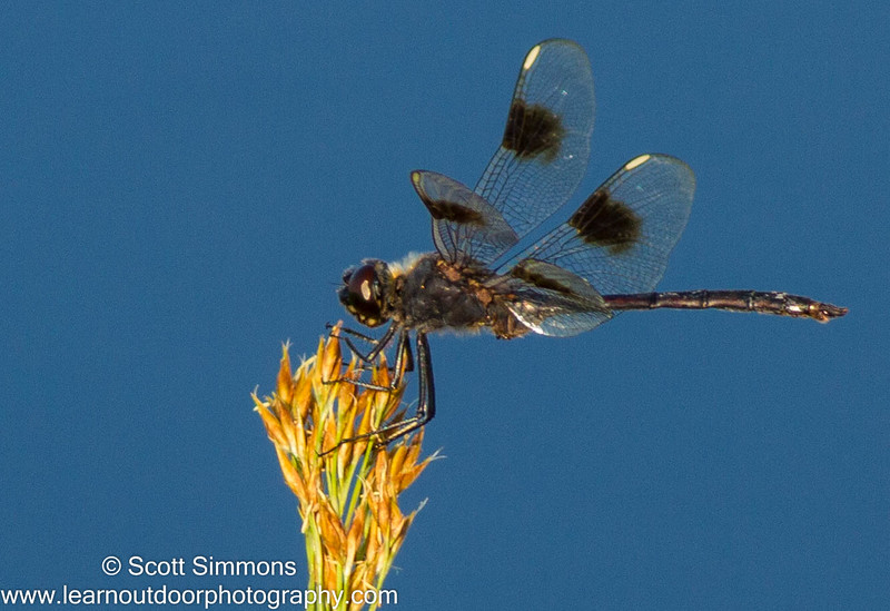 Four-spotted Pennant