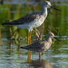 Stilt Sandpiper with Greater Yellowlegs