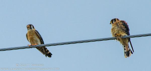 American Kestrel (southeastern subspecies)