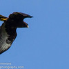 Short-tailed Hawk (Dark Morph)