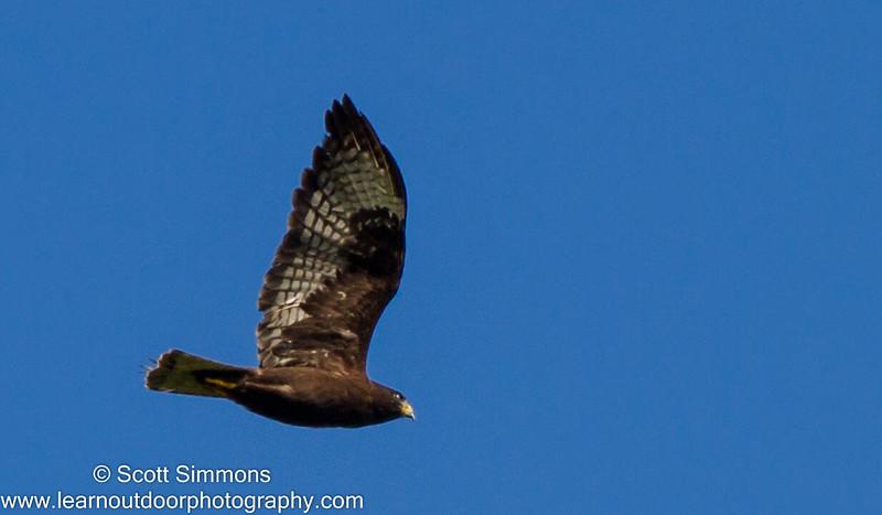 Short-tailed Hawk (Dark Morph)