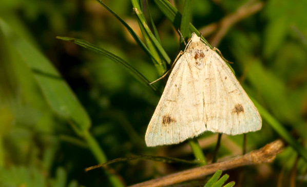 Vetch Looper Moth