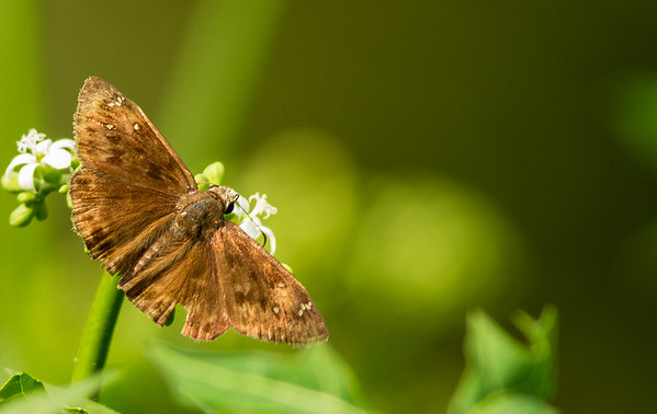 Duskywing Skippers