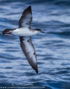 Audubon Shearwater