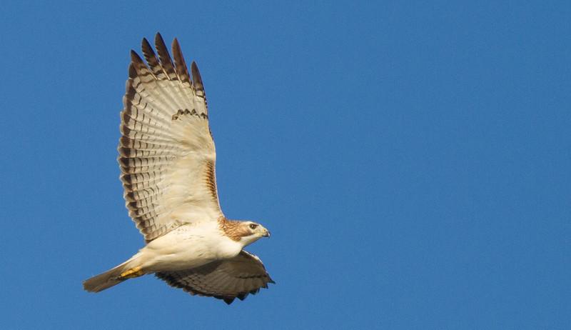 Red-tailed Hawk (Krider's)