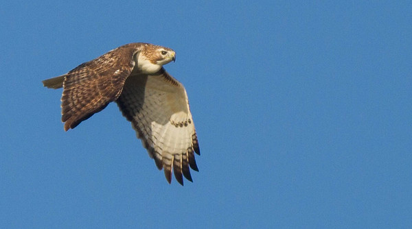 Red-tailed Hawk (Krider's)