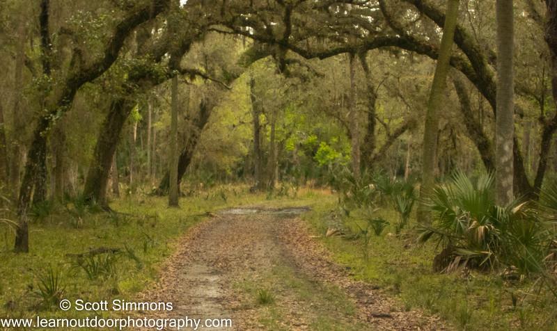 Live Oak Canopy