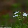 Copestylum Fly on Tread Softly Flower