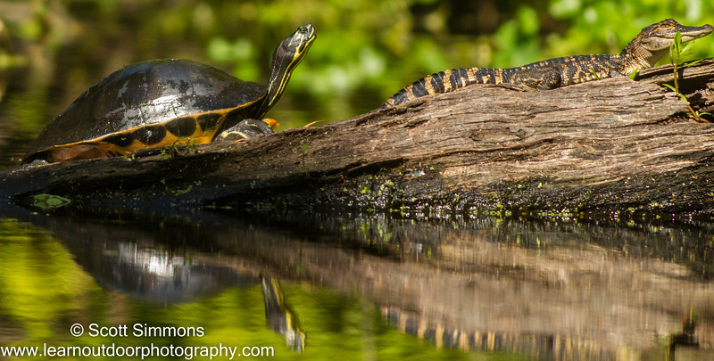 Peninsula Cooter and American Alligator