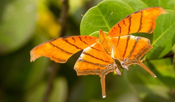 Ruddy-daggerwing Butterfly