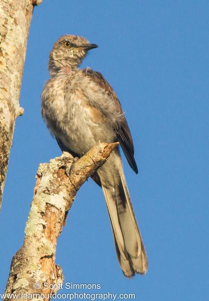 Northern Mockingbird (Juvenile)