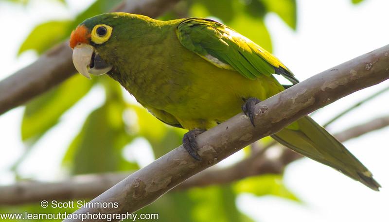 Orange-Fronted Parakeet