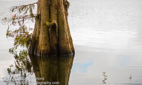 Cypress Tree in Water
