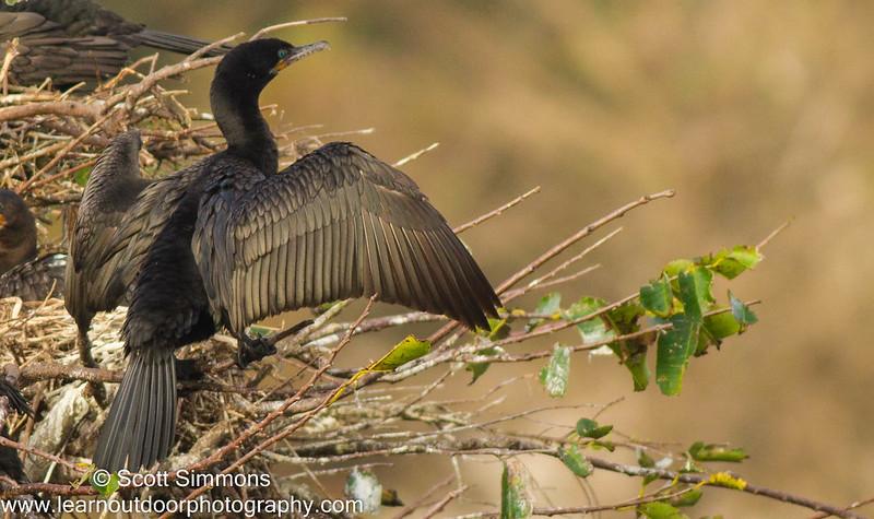 Neotropic Cormorant X Double-crested Cormorant Hybrid