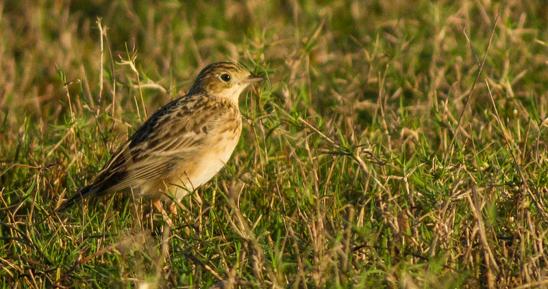 Sprague's Pipit at the Little Big Econ WMA (Kilbee Tract), 1/4/2015