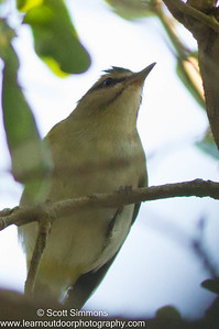 Black-whiskered Vireo