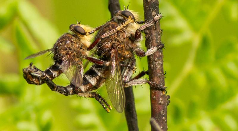 Giant Robber Flies Mating (Promachus bastardii)