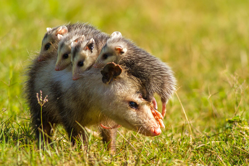 Virginia Opossum with Young