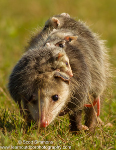 Opossum with Young