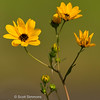 Common Tickseed