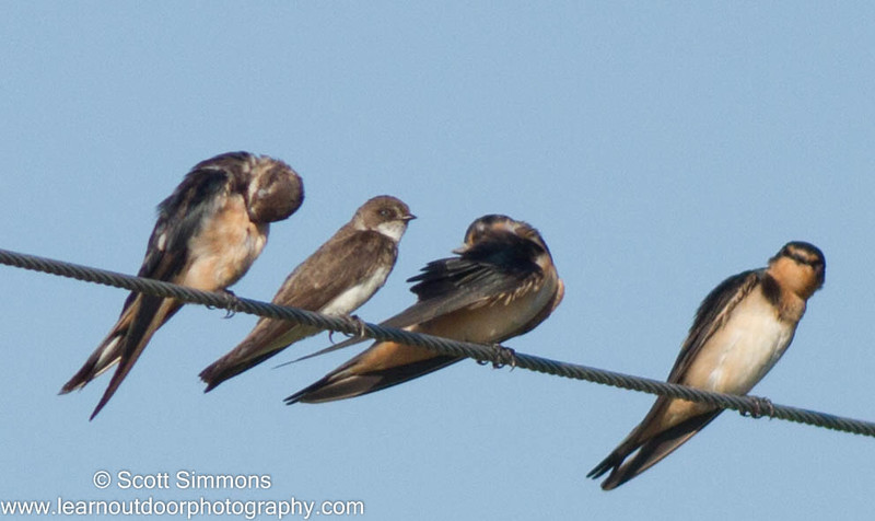 Bank Swallow with Barn Swallows