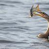 Anhinga and a Fish Having a Bad Day